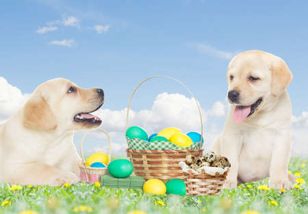 two labrador puppy and Easter set in the grass
