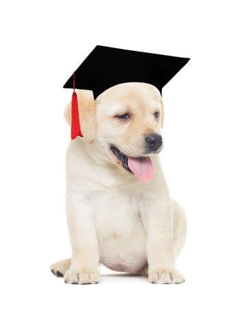 bachelors: Bachelors hat in labrador puppy