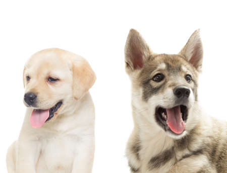 huskies: Huskies and labrador muzzle on a white background Stock Photo