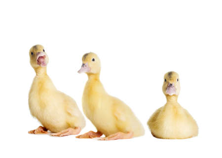 little duckling looking