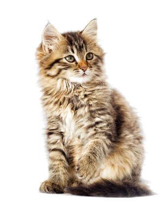 funny fluffy tabby kitten looking