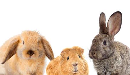 齧歯動物、ウサギ、モルモットのセット 写真素材