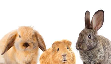 set of rodents, rabbit and guinea pig