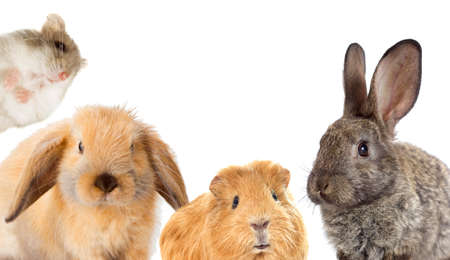 set of rodents, rabbit and guinea pig and hamster Stock Photo - 60185417