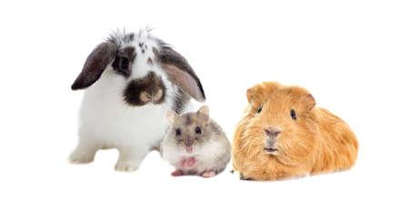 lapin blanc: le lapin et le hamster et Guinée regards de porcs