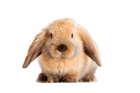 Kaninchen Hängeohren Standard-Bild