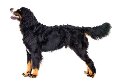 Bernese Mountain Dog In Full Growth Looks Sideways On A White