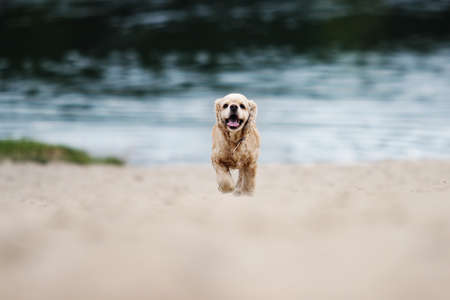 spaniel dog running on the sand beach