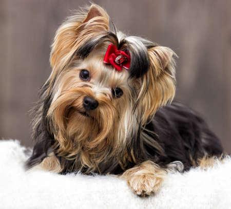 black textured background: yorkshire terrier dog on a wooden background