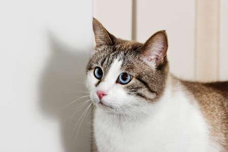 muzzle blue-eyed cat looks