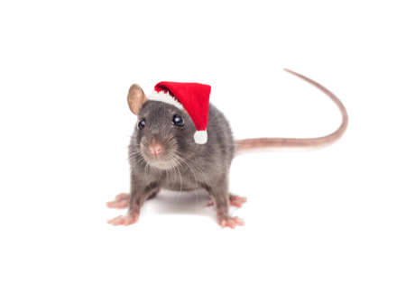 rat in a New Years hat on white background Stock Photo