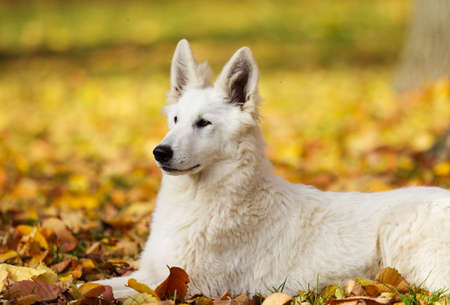 white Swiss Shepherd dog on an autumn walk Stock Photo