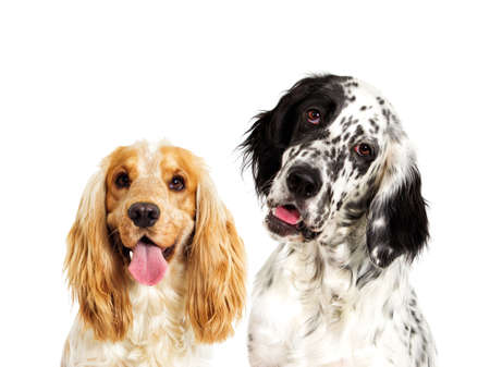Portrait of an english setter dog And spaniel looking Stock Photo