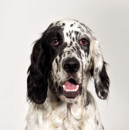portrait setter dog looking