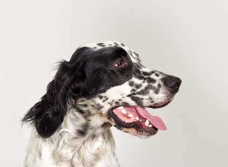 Portrait profile english setter dog looking