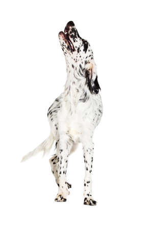 english setter dog looking
