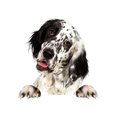 Portrait of an english setter dog peeking Stock Photo