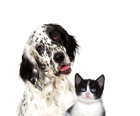 Portrait of an english setter dog And a kitten looking