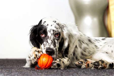 강아지는 아파트에서 장난감 공을 g아 먹는다.