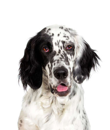 Portrait of an english setter dog looking