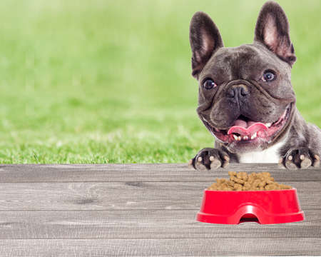 Portrait of a French bulldog dog looking On the green grass