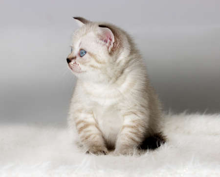 British kitten watches a fluffy coverlet Stock Photo