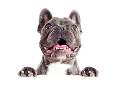 Portrait of a French bulldog dog peeps, looking Stock Photo