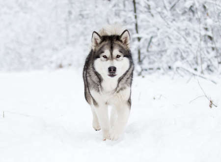 Alaskan Malamute dog on a winter