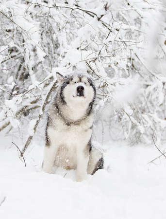 winter malamute dog Stock Photo - 119866529