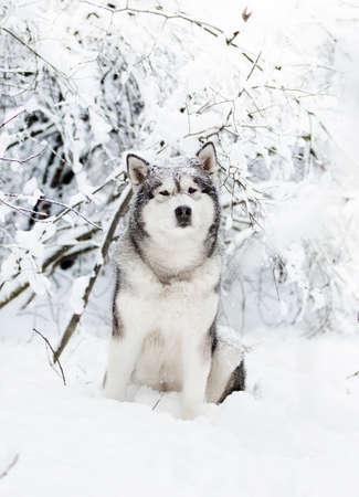 winter malamute dog
