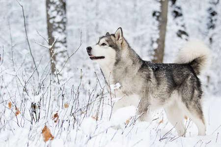 winter malamute dog Stock Photo - 119866539