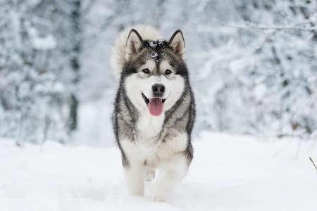 chien malamute d'hiver