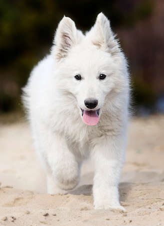active puppy running breed white swiss shepherd Banque d'images