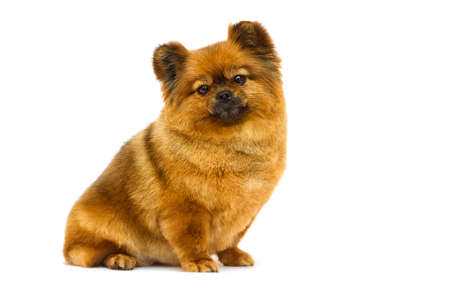 pomeranian dog looks on a white background