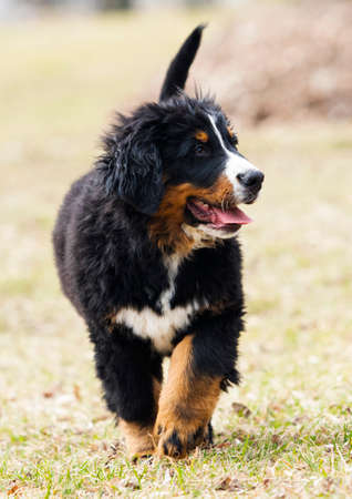 Bernese Mountain Dog puppy for a walk