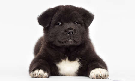 American Akita puppy looking on a white background