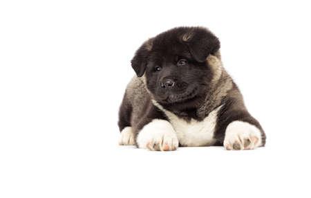 little american akita puppies on white background Reklamní fotografie