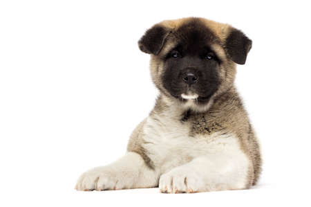 little puppies of american akita breed on white background Reklamní fotografie