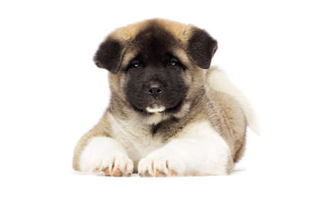 little puppies of american akita breed on white background Stock Photo