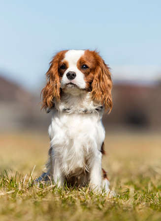 King Charles Spaniel dog on the grass Reklamní fotografie
