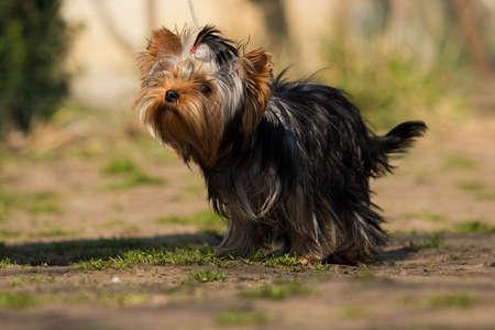 yorkshire terrier dog in training class 免版税图像
