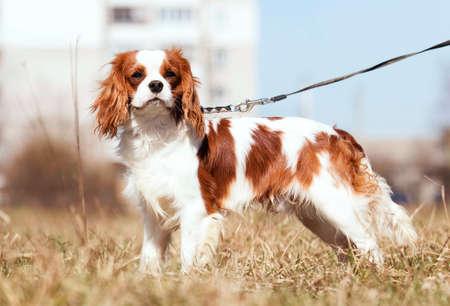 Cavalier King Charles Spaniel dog on the grass Reklamní fotografie