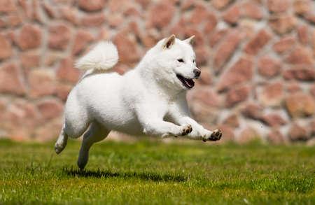 hokkaido dog quickly runs