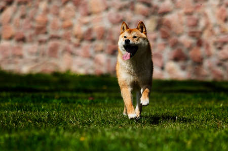 Japanese Shiba Inu dog on the green grass Reklamní fotografie - 121895723