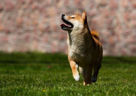 Japanese Shiba Inu dog on the green grass Reklamní fotografie - 121895727
