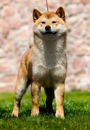 Japanese Shiba Inu dog on the green grass Reklamní fotografie - 121895765