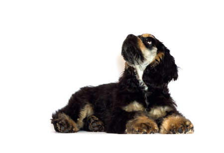 american cocker spaniel puppy looking on white background