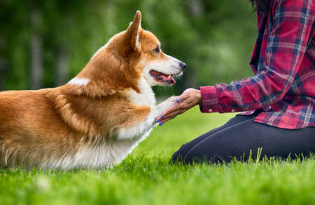 dog welsh corgi gives his paw