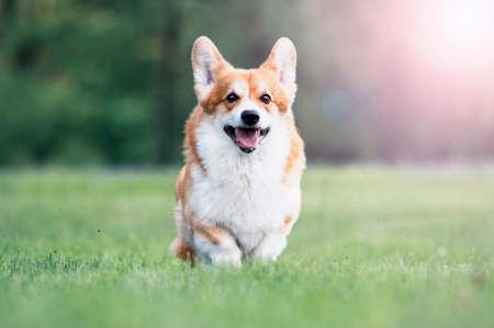 Red Dog Welsh Corgi Pembroke für einen Spaziergang im Sommer