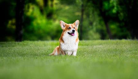 red dog welsh corgi pembroke for a walk in summer
